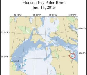 Figure 1. Seven out of ten Hudson Bay polar bears with tracking collars are out on the sea ice, along the ice edge. At least one appears to be utilizing shorefast ice near Churchill and one lone bear is off on a journey to Davis Strait, hunting on the remaining sea ice there. Original here.