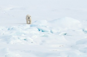 A polar bear walks on the Arctic Ocean ice Aug. 21, 2009.