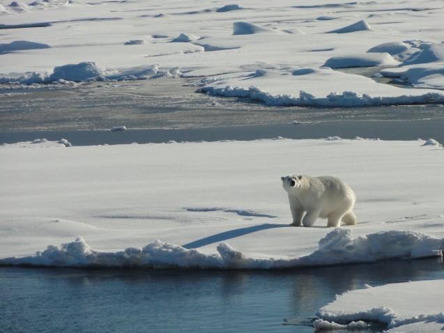 Healy Aug  24 2015 Polar-Bear V Tim Kenna