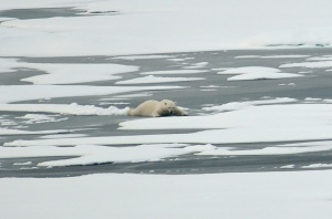 A polar bear slides across thin Arctic Ocean ice Aug. 21, 2009. P. Kelly, US Coast Guard.