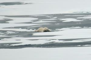 A polar bear slides across thin Arctic Ocean ice Aug. 21, 2009. P. Kelly, US Coast Guard.