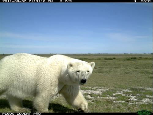 Western Hudson Bay bear, Wakusp National Park, August 2011.