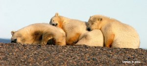 Southern Beaufort mother with cubs relaxes for the summer onshore.