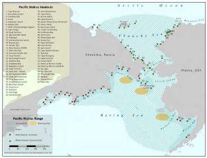 Walrus haulouts_NOAA status report 2011 PolarBearScience