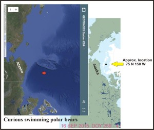 Curious swimming pbs Beaufort Sea_16 Sept 2015 sea ice