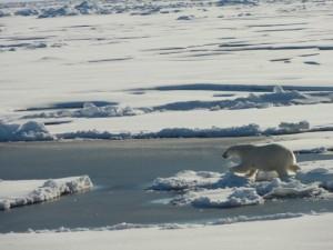 Healy Aug 24 2015 Polar-Bear III Tim Kenna