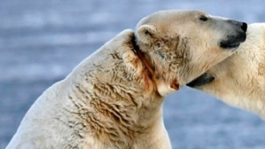 polar-bear-radio-collar_CBC Oct 28 2015