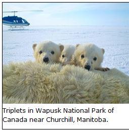 Triplets in Wapusk NP from McCall webpage 2013