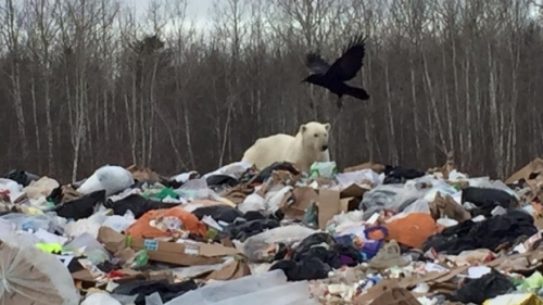 Moose Factory_polar-bear-in-dump_CBC Dec 22 2015