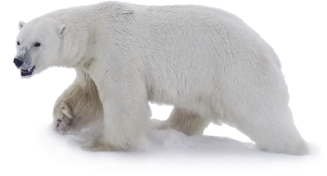 polar_bear_2013_Doc_cutout_with_snow_USGS