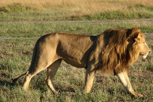 African_Lion_3 wikipedia