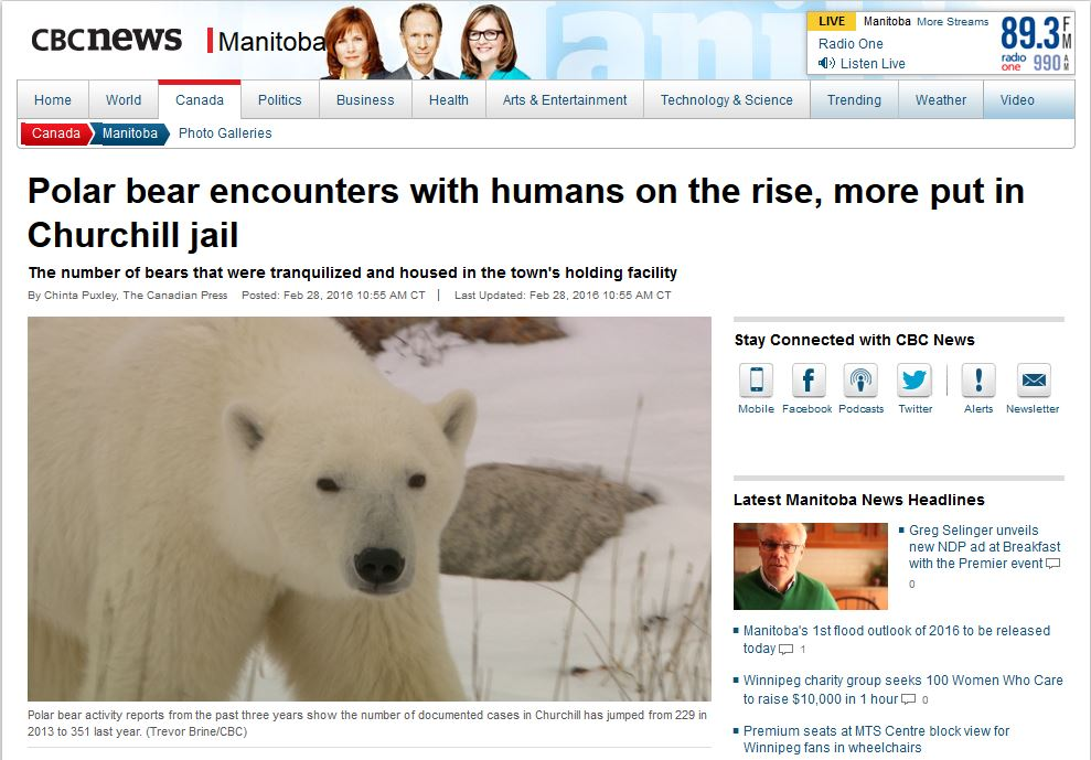 Churchill polar bear encounters up in 2015_CBC headline Feb 28 2016