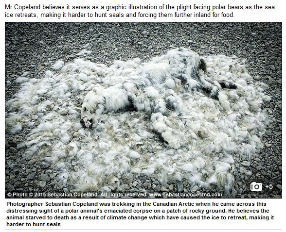 Daily Mail screencap_polar bear that died of climate change_Feb 18 2016