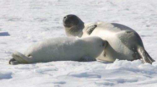 Harp seal pup_DFO Newfoundland