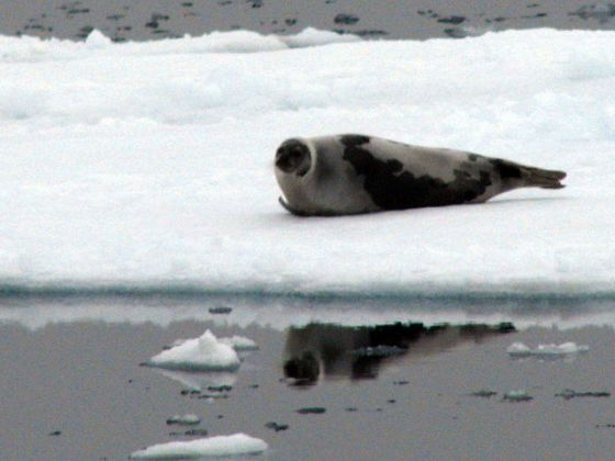 Harp_seal_2008_male_wikepedia sm