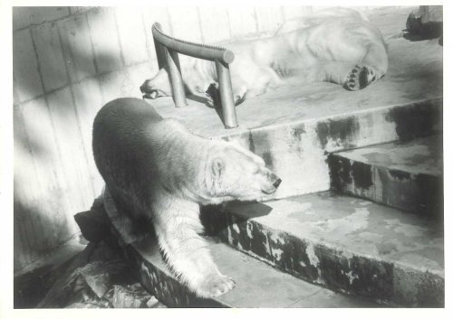 Polar bears Stanley park zoo_Crockford 1970s_web