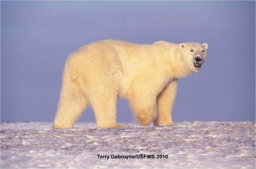 Polar_Bear_in fall Terry Debruyne_USFWS Nov 10 2010_w label_sm