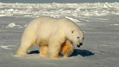 Beaufort Sea male polar bear USGS_2005 Amstrup photo