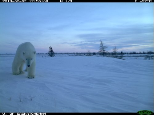 Doug Clark photo polar bears onshore in Feb 2013 Wapusk NP