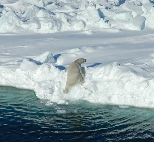 Svalbard polar bear_NP015991-isbjorn-JA