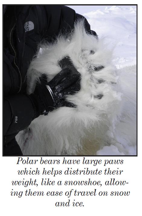 Polar bear foot_USFWS_PolarBearNews2013
