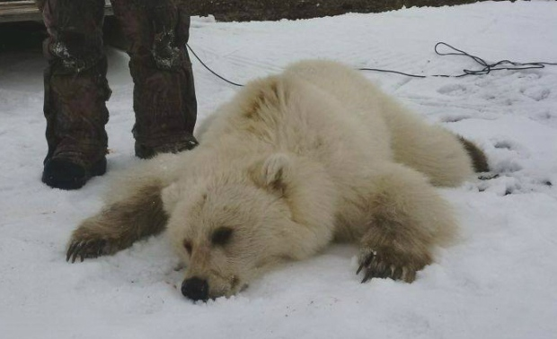 grizzly-polar-bear-hybrid_Arviat 2016 Didji Ishalook