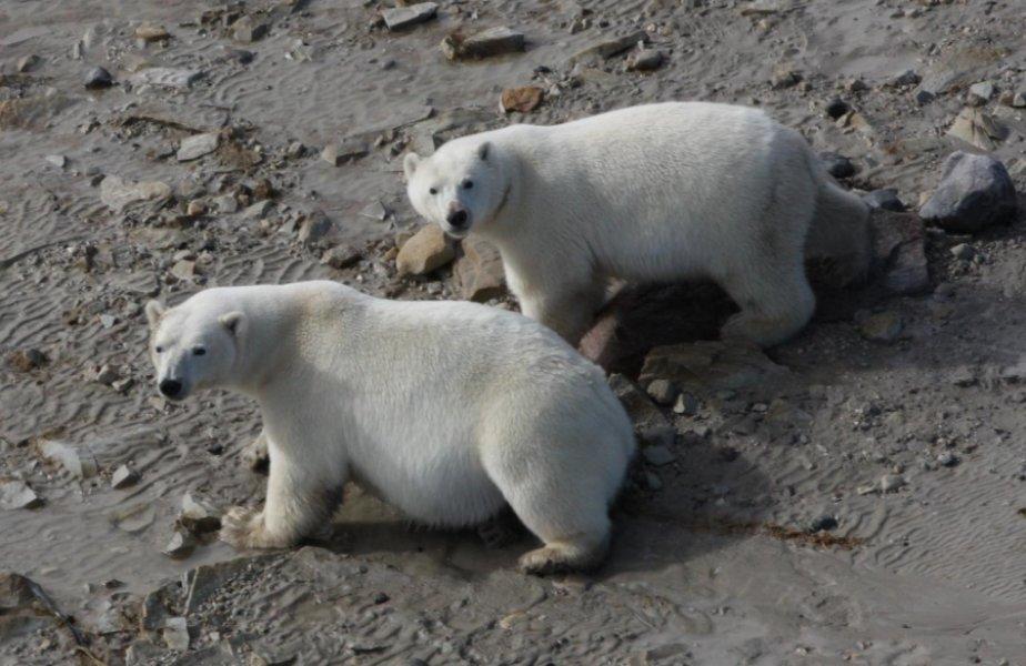 Polar bears eating terrest foods WHB_Rockwell press release
