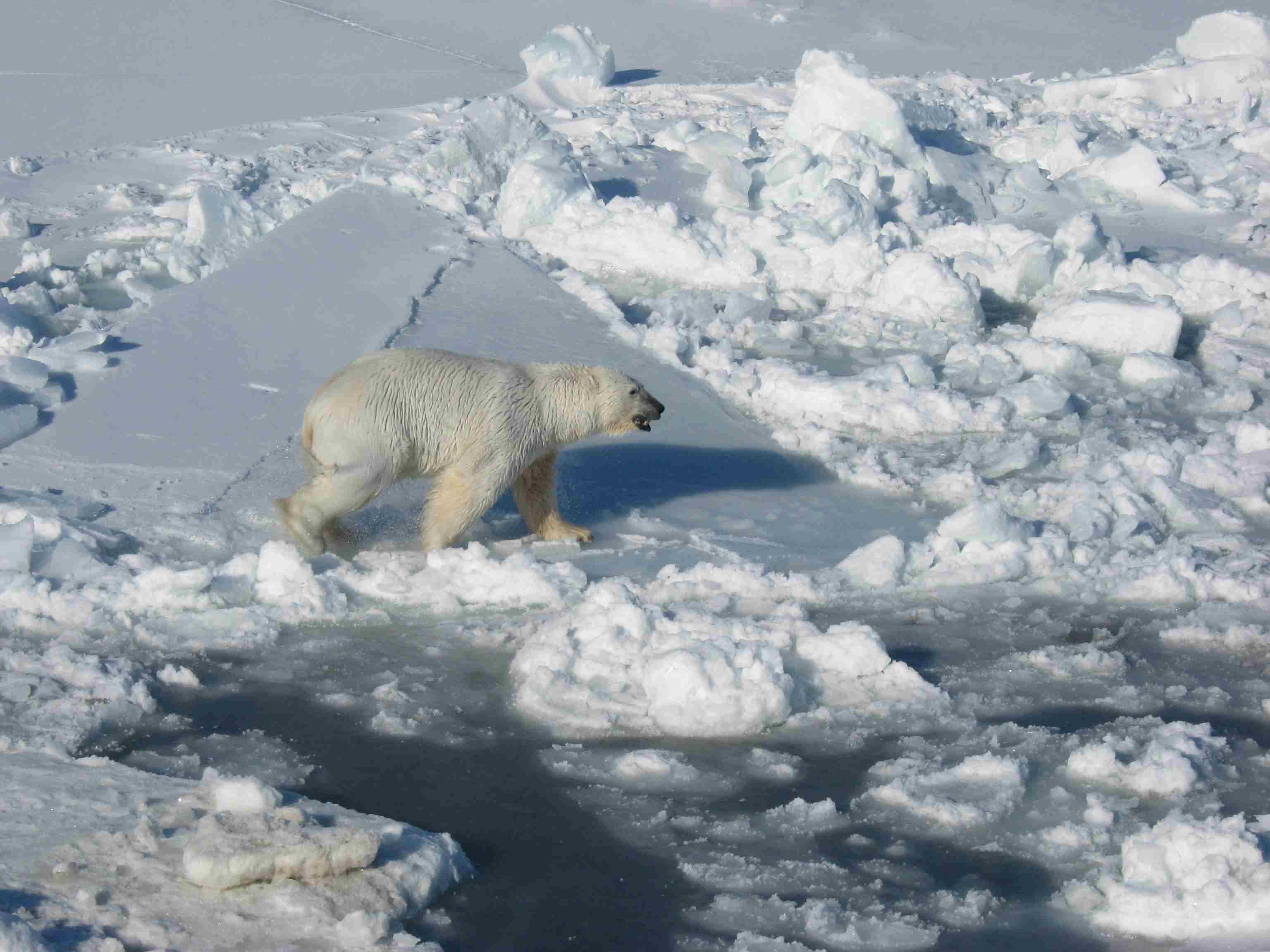 Polar_Bear_male on sea ice_Regehr photo_March 21 2010_lg