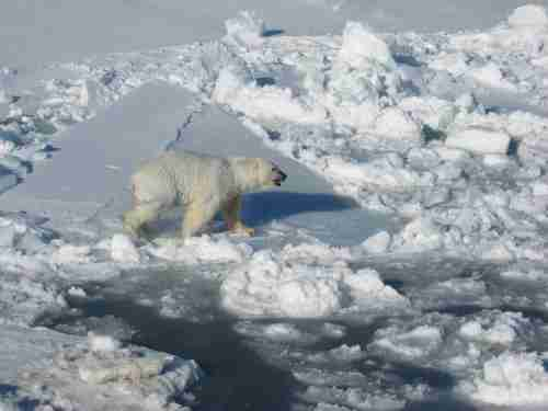 Polar_Bear_male on sea ice_Regehr photo_March 21 2010_lg