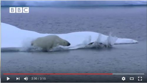 Bearded seal hunted by polar bear BBC snapshot 2