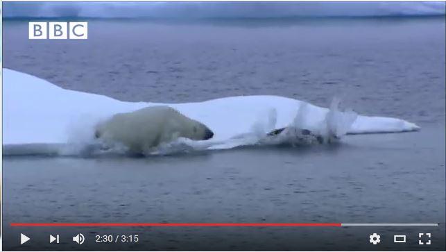 Bearded seal hunted by polar bear BBC snapshot 2
