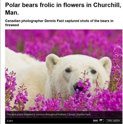 Churchill pbs in wildflowers_CBC feature_August 2015