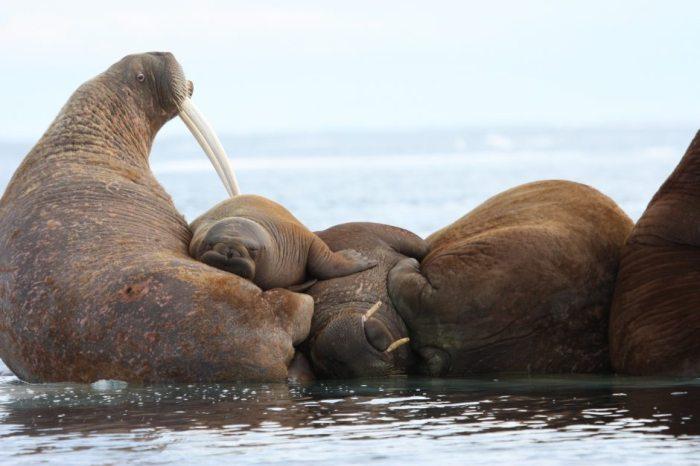 Walrus 2012 July USGS