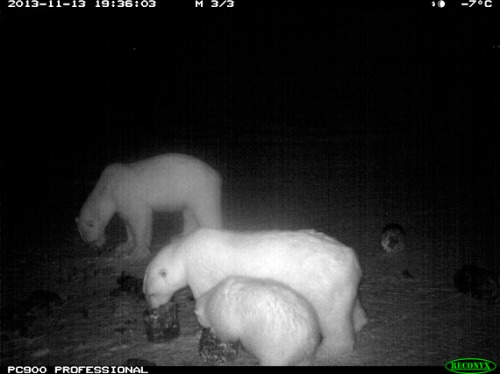 ArviatBear2_570 diversionary feeding_2013 Arviat conservation