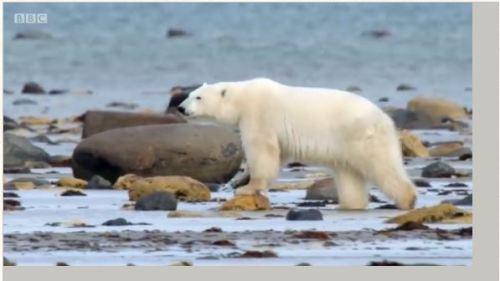 bbc-live-ii-fat-polar-bear-03