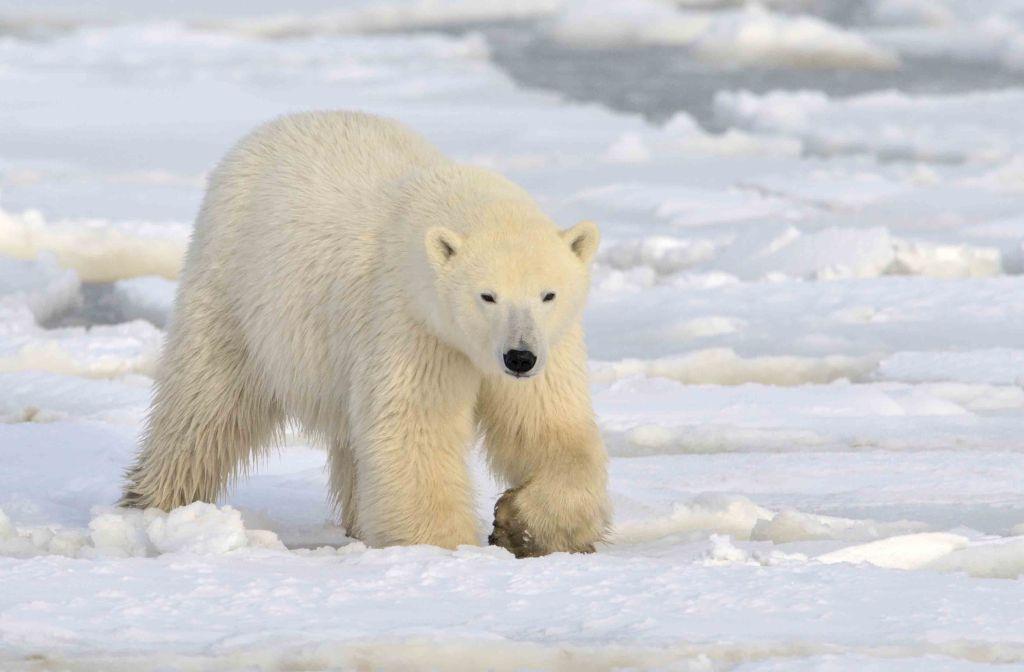 polar-bear-stock-image-gg66298544_sm