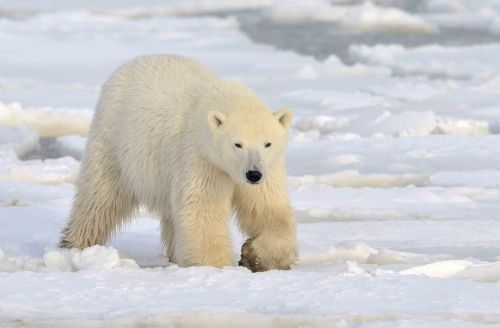 polar-bear-stock-image-gg66298544_sm