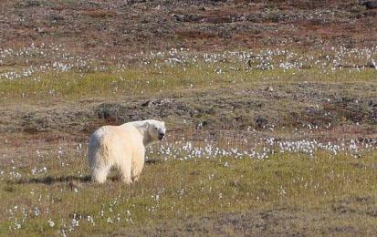 polarbearatthulerobindavies-500x349-sm
