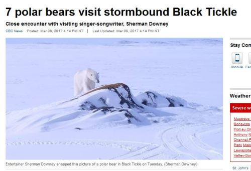 Black Tickle polar bear visits 7 March 2017_CBC news 8 March
