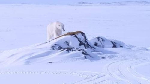 Black Tickle polar-bear 7 March 2017_Sherman Downey shared photo
