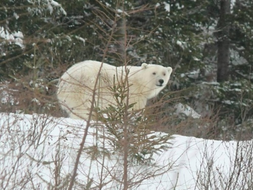 Bonavista nfld Polar Bear 2017 April 2_Brandon Collins shared photo CBC