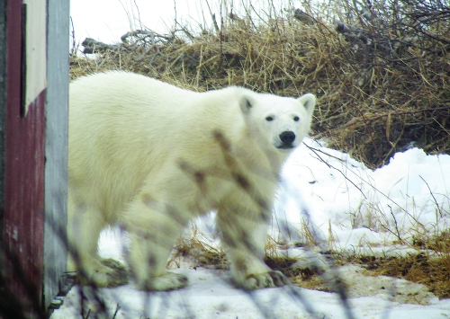Labrador polar-bear-2070615_submitted photo 15 March 2017 Telegraph