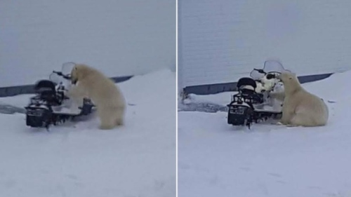Melrose nfld Polar Bear 01 snowmobile_2017 April 3_Shelly Ryan shared photo CBC