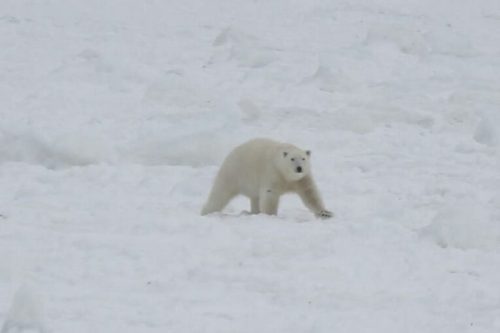 Melrose nfld Polar Bear 01_2017 April 3_Brandon Collins shared photo The Packet