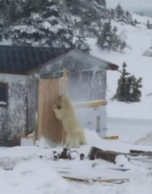 Melrose nfld Polar Bear 02_2017 April 3_Shelly Ryan shared photo CBC
