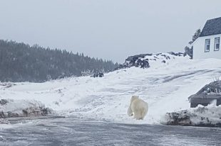 Melrose nfld Polar Bear 02_2017 April 4_Dion Diamond shared photo THE PACKET