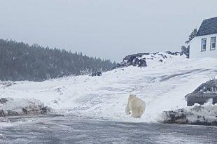 Melrose nfld Polar Bear 02_2017 April 4_Dion Diamond shared photo THE PACKET