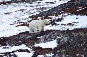 polar-bear-new-wes-valley_Dana Blackmore shared_CBC 3 April 2017