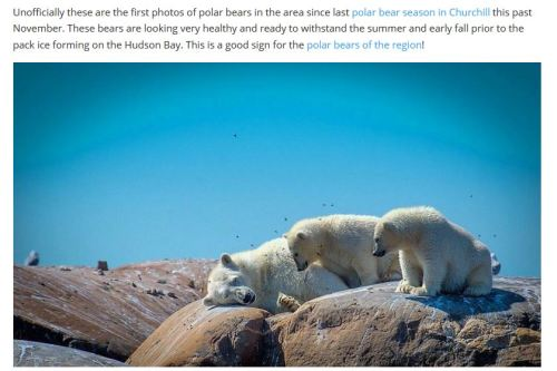 ChurchillPolarBearsDotOrg_July 14 2017 Alex De Vries photo