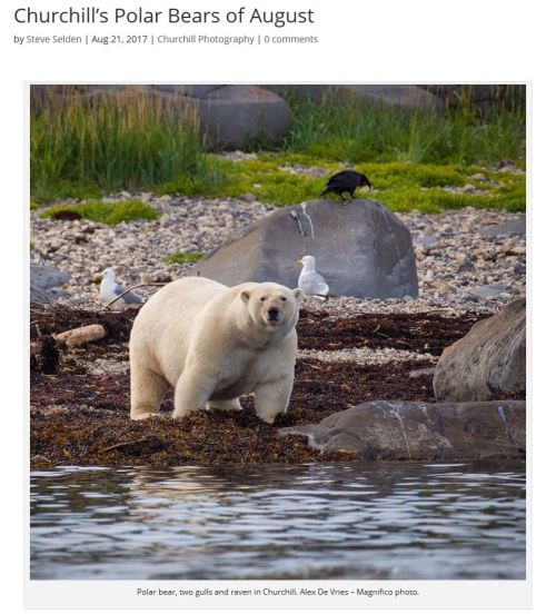 Churchill_PolarBears_FAT bear post_21 Aug 2017